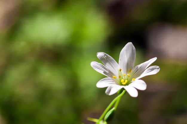 Cerastium en flores fragantes del bosque