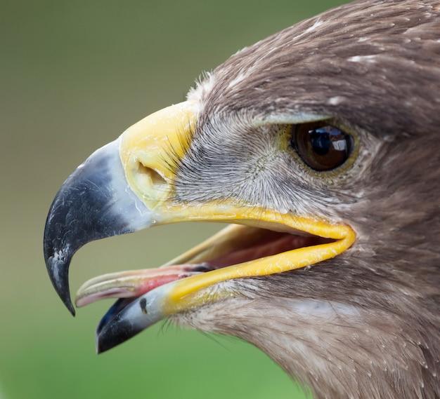 Cerca del águila real