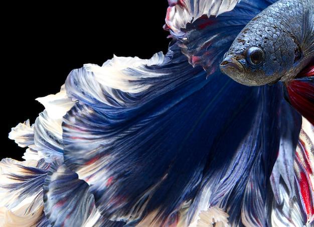 Cerca de bettafish en negro