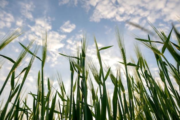 Cerca de cabezas de trigo verde que crecen en el campo agrícola en primavera.