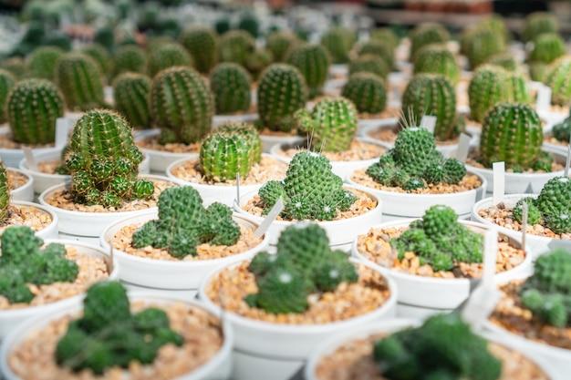 Cerca de cactus en maceta blanca en invernadero