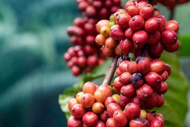 Cerca de café cereza en cafeto