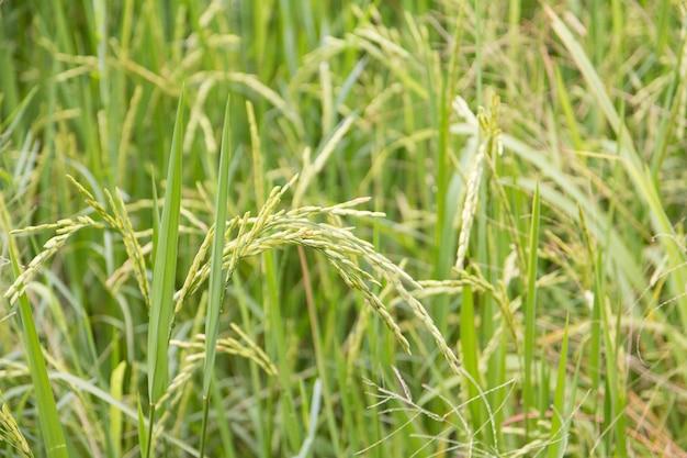 Cerca del campo de arroz verde