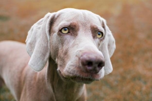 Cerca de la cara de un perro weimaraner