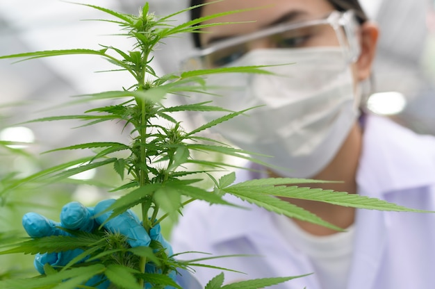 Cerca del científico con guantes y gafas examinando la planta de cáñamo cannabis sativa