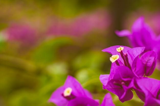 De cerca el color vivo de la buganvilla y el fondo borroso