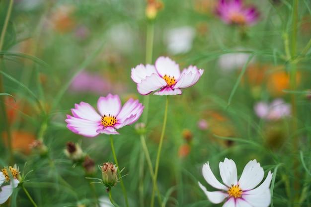 Cerca de cosmos flores en el jardín