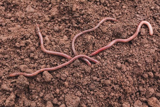 Cerca de los gusanos de tierra en tierra sana.