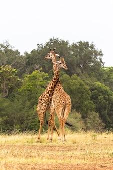 Cerca de duelo de jirafas en la sabana.