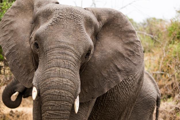 Cerca de un elefante africano, sudáfrica.