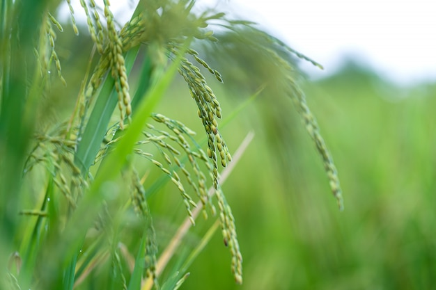 Cerca de espiga de arroz en campo de arroz