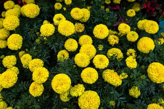 Cerca de la flor amarilla de caléndula