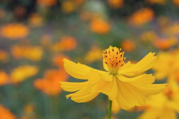 Cerca de la flor del cosmos de azufre de verano, flor amarilla del cosmos