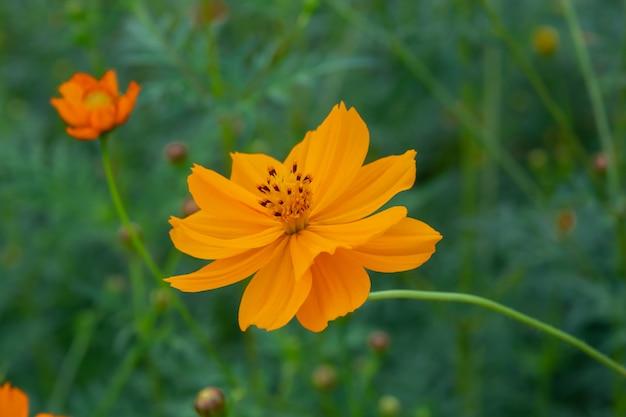 Cerca de flor de cosmos de azufre de verano, flor de cosmos naranja