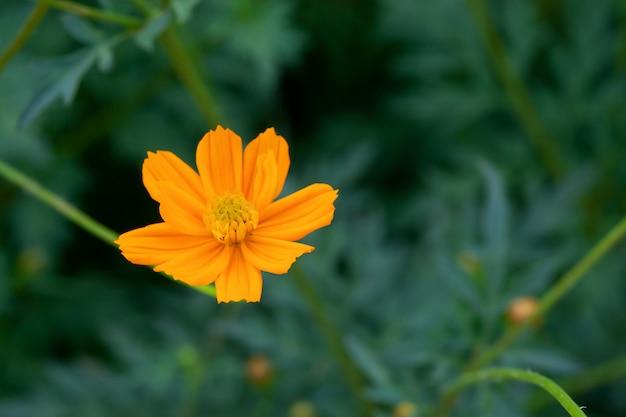 Cerca de la flor del cosmos de azufre de verano