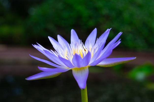 Cerca de flor de loto