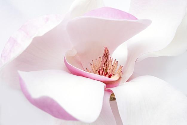 Cerca de flor de magnolia blanca y rosa sobre el fondo blanco.