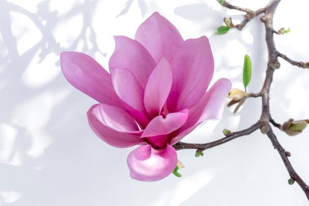 Cerca de la flor de magnolia rosa sobre fondo blanco con luces y sombras.
