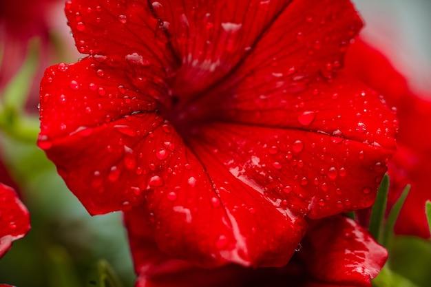 Cerca de la flor de petunia roja con gotas de rocío sobre los pétalos