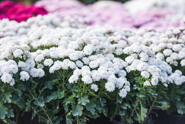 Cerca de la flor de racimo crisantemo blanco hermoso fondo de textura / flores de crisantemo decoración floreciente celebración del festival