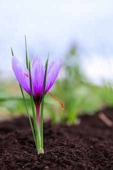 Cerca de flores de azafrán en un campo. crocus sativus, crocus de azafrán, delicados pétalos de azafrán