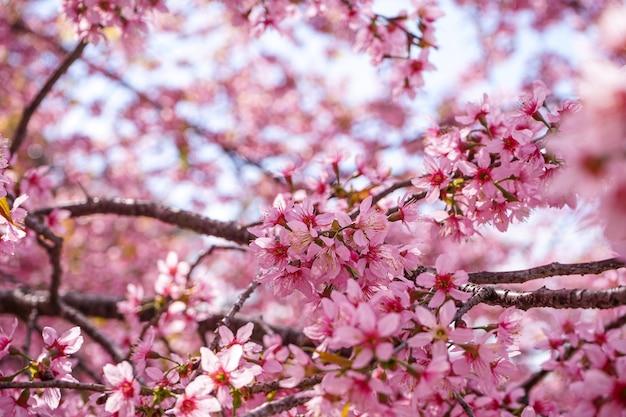 Cerca de flores de cerezo silvestre del himalaya o sakura