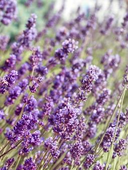 Cerca de flores de lavanda en el campo