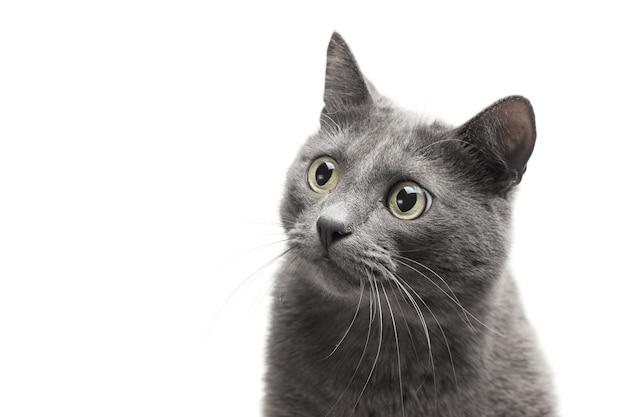 Cerca de un gato gris con expresión divertida aislado
