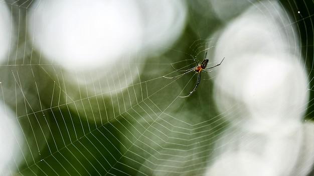 Cerca de golden silk orb weaver (nephila) o arañas gigantes de madera o arañas banana.