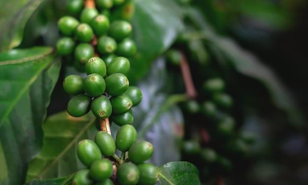 Cerca de granos de café en la planta