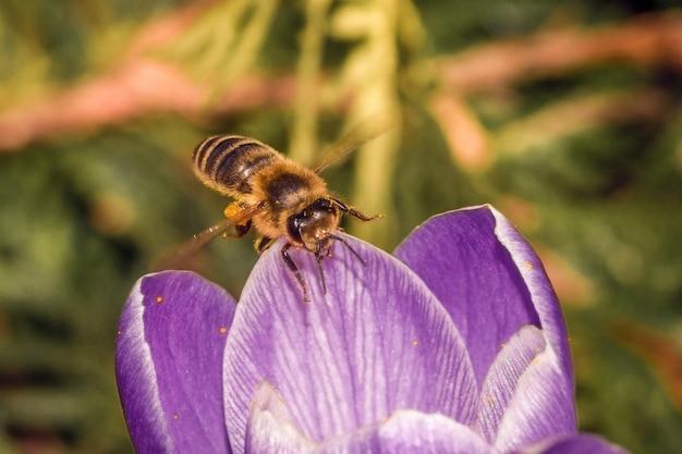 Cerca de una hermosa flor púrpura crocus vernus con una abeja