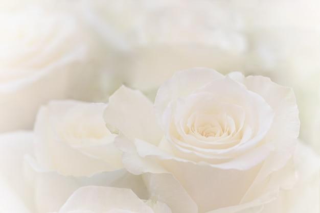 Cerca de una hermosa rosa blanca.