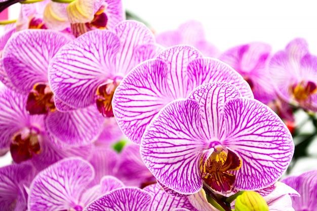 Cerca de hermosas orquídeas púrpuras en blanco