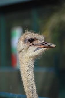 Cerca del hermoso rostro de avestruz