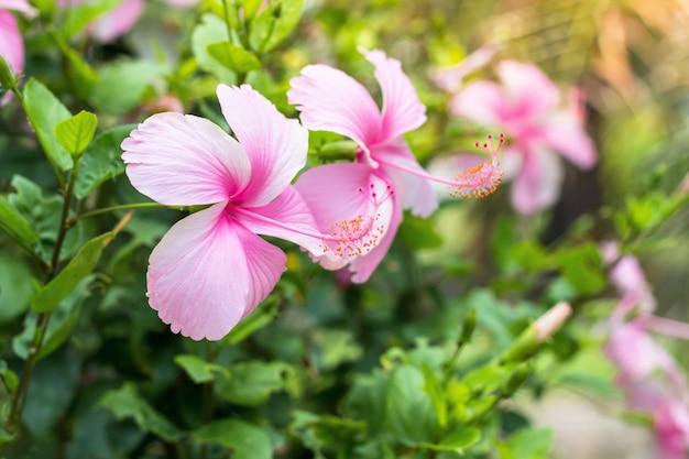 Cerca de hibisco hermoso, flor de chaba en floración en el jardín
