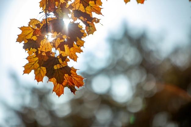 Cerca de las hojas de arce de color amarillo y rojo brillante en las ramas de los árboles de otoño con un vibrante fondo borroso en el parque de otoño.