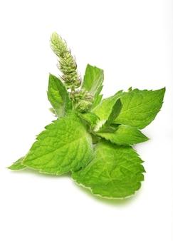 Cerca de hojas de menta fresca