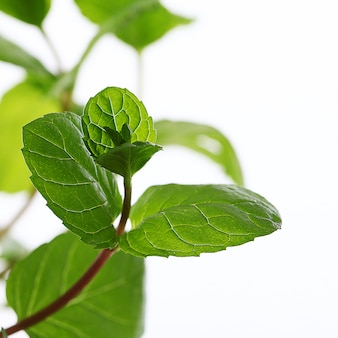 Cerca de hojas de menta