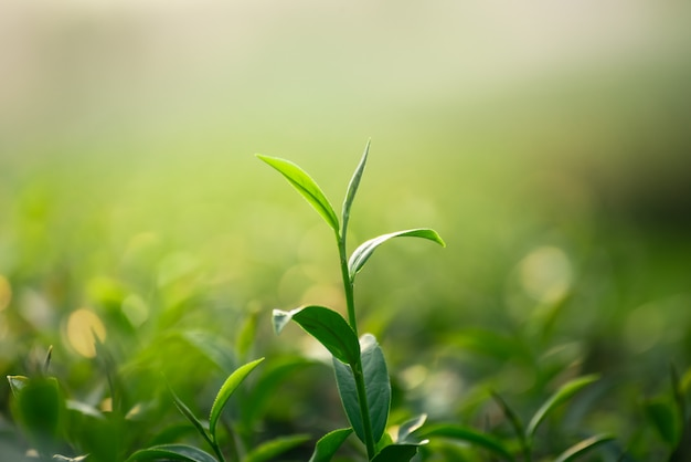 Cerca de hojas de té verde fresco sobre fondo bokeh