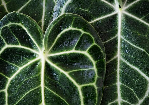 Cerca de las hojas de xanthosoma