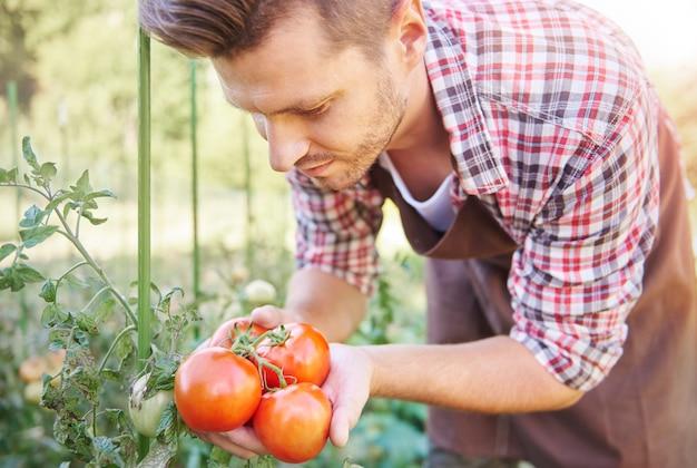 Cerca del hombre mirando su cosecha de tomate
