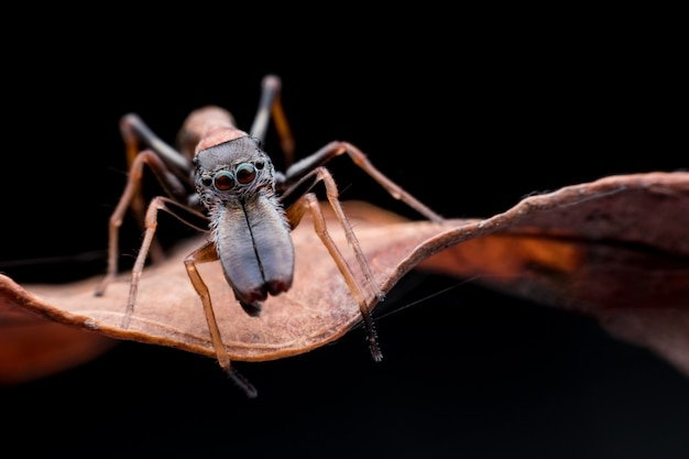 Cerca de hormiga masculina imitando a araña en hoja seca