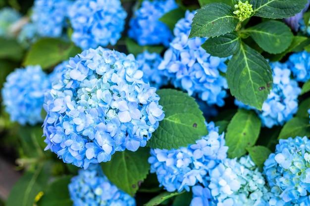 Cerca de hortensia azul que florece en el jardín