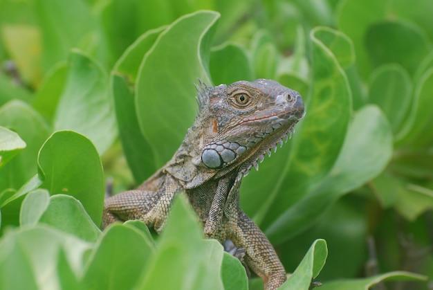 De cerca con una iguana común encaramada en un arbusto verde.