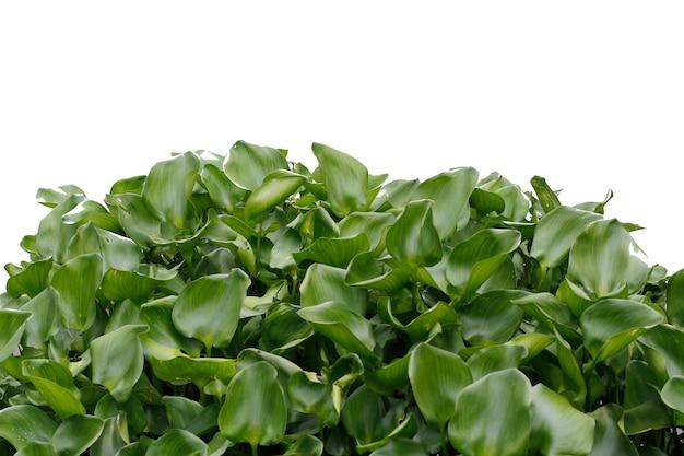 Cerca de jacinto de agua en la naturaleza sobre fondo blanco