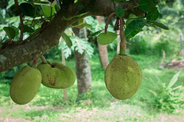 Cerca de joven jackfruit en planta