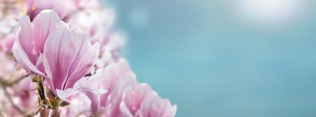 Cerca de magnolia flowerss hermosa en un soleado esquí azul en primavera