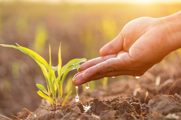 Cerca de la mano dando agua al joven árbol de maíz en el campo en la hora del atardecer