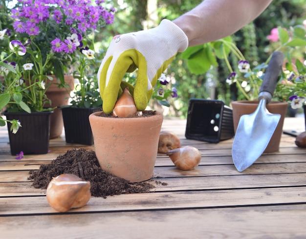 Cerca de la mano de la jardinería plantar un bulob de flor en una maceta puesta sobre una mesa en el jardín