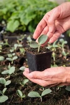 Cerca de las manos del agricultor hombre sosteniendo una olla con plántulas de pepino en invernadero
